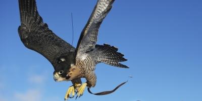 Paukščiai bus mokomi kovoti su dronais?