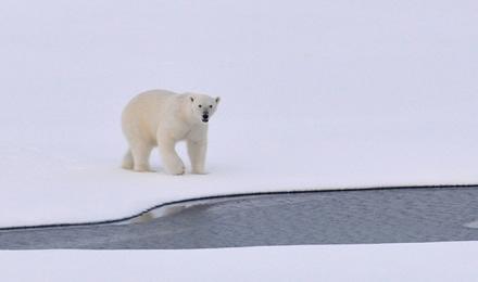 Įdomus faktas apie baltąsias meškas – STEALTH technologija Arktyje